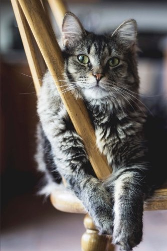 Gray and Black Striped Cat on a Chair Portrait Pet Journal: 150 Page Lined Notebook/Diary