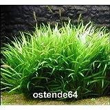 Grasartige Zwergschwertpflanze / Echinodorus latifolius im TOPF