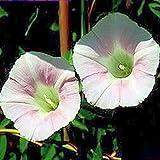 Buy Convolvulus Pluricaulis Lawn & Patio