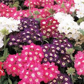 100 MIXED COLORS VERBENA Hortensis Flower Seeds