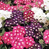 100 MIXED COLORS VERBENA Hortensis Flower Seeds