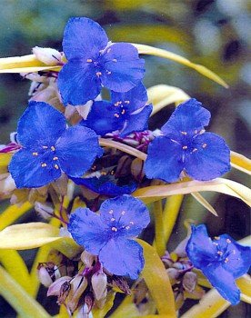 Sweet Kate Blue & Gold Spiderwort - Tradescantia - Live Plant - Quart Pot