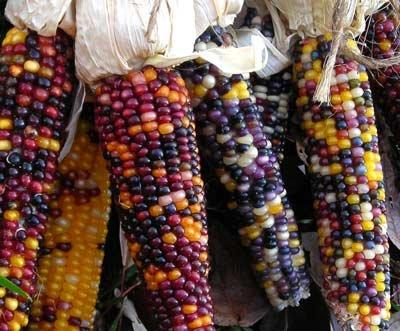 David's Garden Seeds Popcorn Cherokee Long Ear Small 41609PU (Multi) 200 Organic Heirloom Seeds