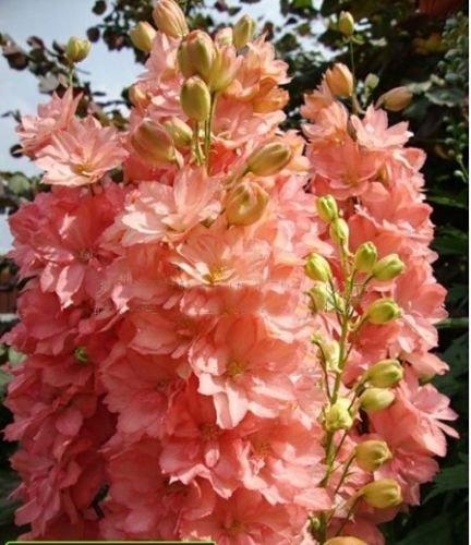 Bonsai Samen Forking Rittersporn Salmon King (Delphinium consolida) Familiengartendekoration Bio-Blumen 100PCS