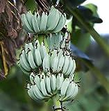 Blue Java Banana Tree- Ice Cream Banana Rare Live