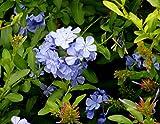 Starter Plant Plumbago Auriculata