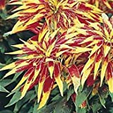 Outsidepride Amaranthus Perfecta - 5000 Seeds