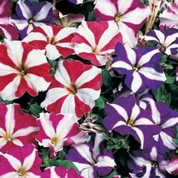Outsidepride Petunia Multiflora Star - 5000 Seeds
