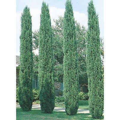 Italian Cypress Seeds, 100 seeds. trees, seeds