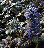 Classy Groundcovers, Ajuga reptans 'Catlin's Giant' (25 Pots, 3 1/2 inches Square)