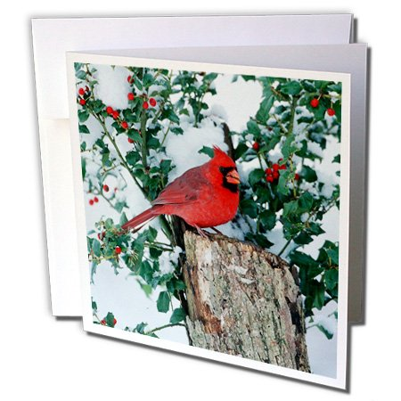 3dRose Danita Delimont - Cardinal - Northern Cardinal male on stump near China Holly in winter, IL - 1 Greeting Card with envelope (gc_250901_5) ()