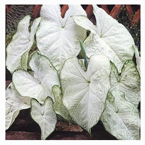 Fancy Leaf Caladium - June Bride - Large Size Root - Zones ()
