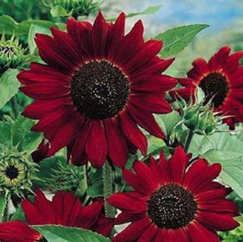 - Potseed Germination Seeds: Velvet Queen Sunflower Seeds - Vivid - Bulk