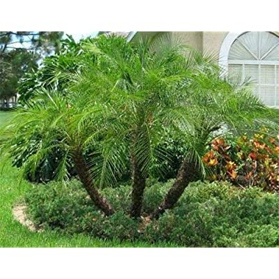 Phoenix Roebelenii (5 - Sprouted) Palm Tree Seeds Live Rare Tropical : Garden & Outdoor