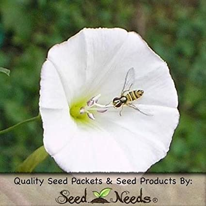 Amazon com : 100 Seeds, Pearly Gates Morning Glory Seeds (Ipomoea