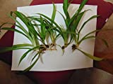 Cuttings - 4 rooted from mother Spider Plant - live babies shipped - easy grow