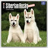 Siberian Husky Puppies 2017 Square (English, French and Spanish Edition)