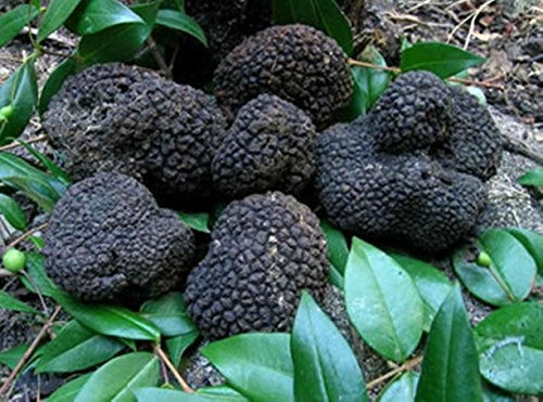10 G Seeds Spores of Truffle Black Garden Mushrooms Kit / Fungus