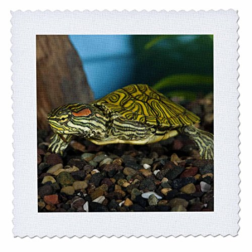 red ear slider turtle - 4