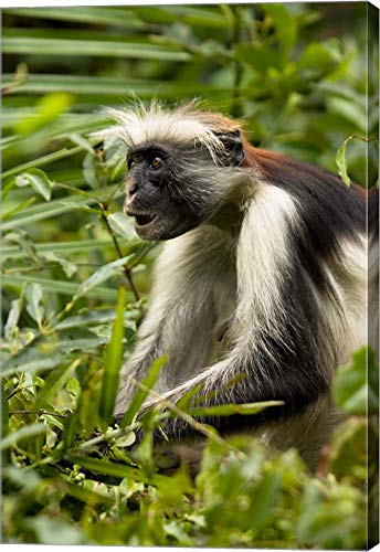 Red Colobus Monkey, Volcanoes NF, Rwanda by Joe & Mary Ann McDonald/Danita Delimont Canvas Art Wall Picture, Gallery Wrap, 23 x 34 inches