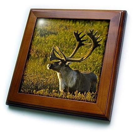 8 by 8 Bull Caribou Wildlife Jerry Ginsberg Us02 Jgi0153 3dRose ft/_87527/_1 Alaska Denali National Park Framed Tile