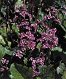 Bergenia cordifolia Red Beauty (Rotblum) 1,000 seeds