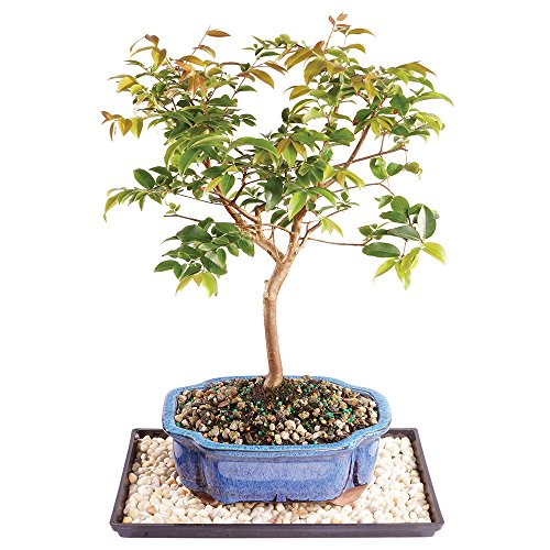 Brussel's Jaboticaba Bonsai - Small (Indoor) with Humidity Tray & Deco Rock by Brussel's Bonsai