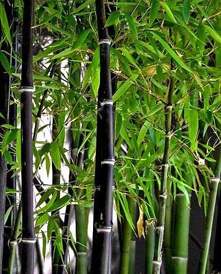 (New Rare Fresh Black Bamboo Seeds Phyllostachys Nigra 100pcs)