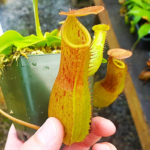 Nepenthes Titanic Victory - exclusive carnivorous pitcher plant hybrid - very easy to grow! ()