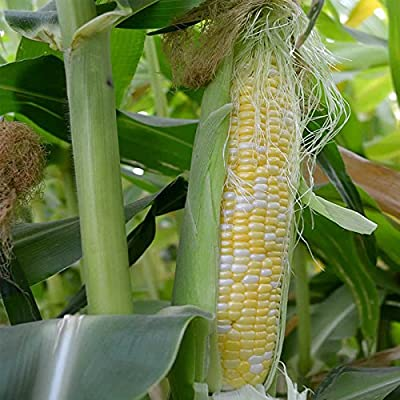 Peaches & Cream Hybrid Corn Garden Seeds (Treated) - Non-GMO Vegetable Gardening Seeds - Yellow & White Sweet (SE) Corn