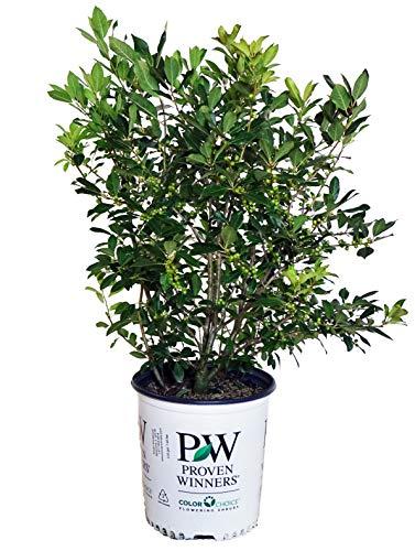 - Proven Winners - Ilex verticillata Little Goblin Orange (Winterberry) Shrub, XL orange fruit, #2 - Size Container