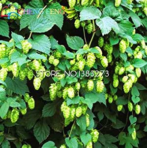 20 Pcs Humulus Lupulus Seeds Potted Plants Home Brew Your Own Beer Returns Year After Year Plants Form Rhizomes Seed Free Ship .