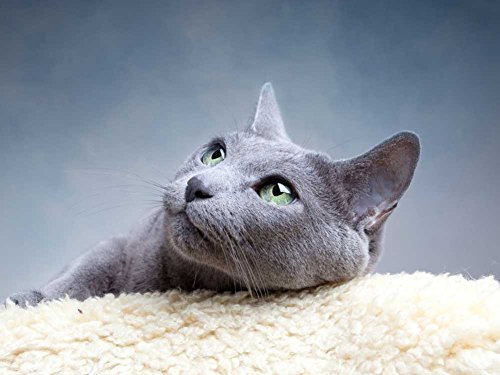 Russian Blue Cat -Oil Painting On Canvas Modern Wall Art Pictures For Home Decoration Wooden Framed (20X16 Inch, Framed)