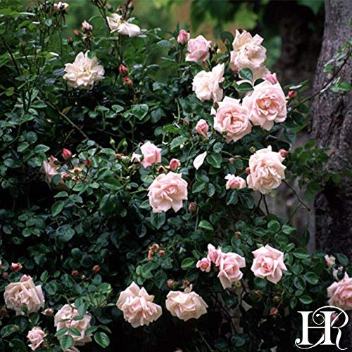 2-Pack Own-Root One Gallon New Dawn Climbing Roses by Heirloom Roses