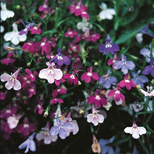 Lobelia - Pendula Cascade - 2000 Seeds