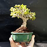 Perfect Bonsai - Portulacaria afra - 5 year old plant