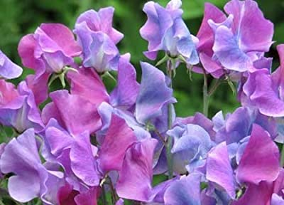 Annual Blue Shift Sweet Pea Certified 25 Seeds #002 Item UPC#636134972779