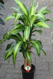 Plante d'intérieur - Plante pour la maison ou le bureau - Dracaena massangeana, hauteur environ 90cm