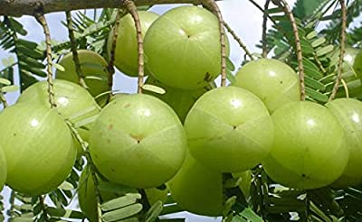 200 Phyllanthus emblica Seeds. Indian Gooseberry Seeds. Amla Seeds