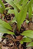 100/bag Ramp,Wild Leek Seeds (Allium tricoccum) Perennial,Considered by many to be the best tasting member of the onion family