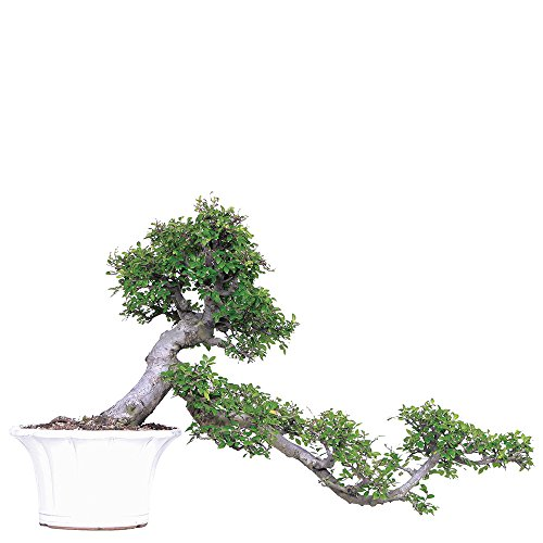 - Brussel's Live Chinese Elm Specimen Outdoor Bonsai Tree - 30 Years Old; 36