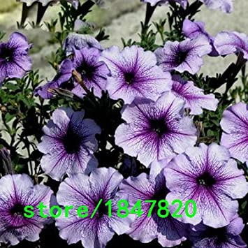 Amazon com : GGG Hot Selling Rare Salpiglossis Seeds Chile