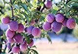 Santa Rosa Plum Tree Semi-Dwarf - Fruit Healthy Sapling - 1 Bare Root Plant