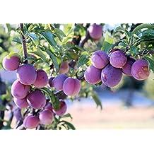 Santa Rosa Plum Tree Semi-Dwarf - Fruit Healthy Sapling - 1 Bare Root Plant