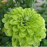 レア120個/パックジニア種子美しいグリーンアップルジニア花の種花の鉢植え盆栽ことでバルコニーコートヤード