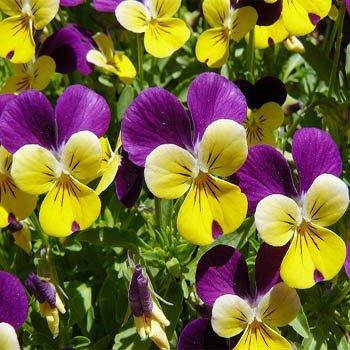 Viola Flower (Outsidepride Viola Johnny Jump Up - 5000 Seeds)