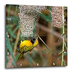 3dRose Danita Delimont - Birds - Namibia, Kaokoveld Conservation Area. Male Masked Weaver Building nest - 10x10 Wall Clock (DPP_310473_1)
