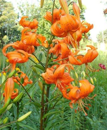 Lilium Tigrinum Splendens - Lilie Orange Tiger 3 Lilienzwiebeln Das Blumenliesel