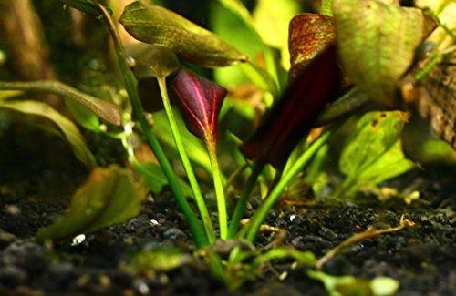 Image of Mainam Echinodorus Aflame Amazon Sword Purple Knight Potted Live Aquarium Plants Decorations Aquatic