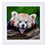3D Rose Red Panda Bear in the Wildlife Nature Animal Quilt Square 14 by 14 Inch, 14 x 14''